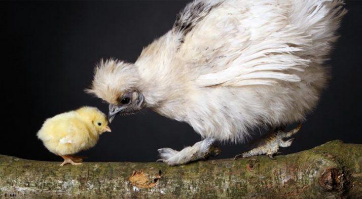 Die Hühner sind los…